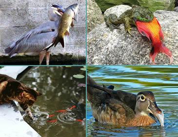 Pond Protectors From Herons Garden Design Ideas